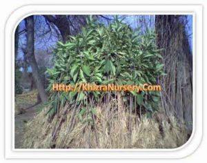 eriobotrya-japonica