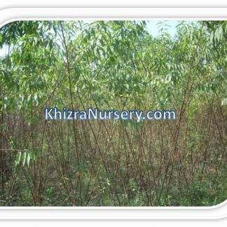 Almond Plants