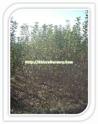 Apple Plants