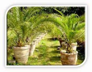 butia capitata palms in pots