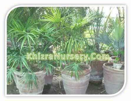 Livistona Chinensis