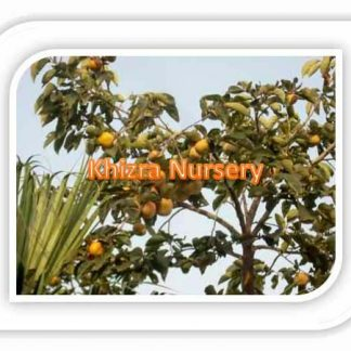 Persimmon Plants