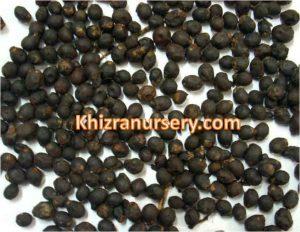 roystonea-regia-seeds