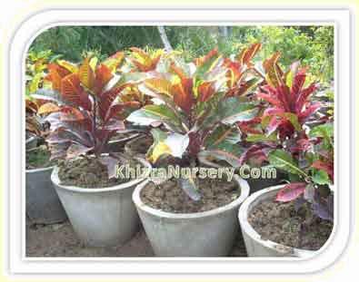 Codiaeum Plants