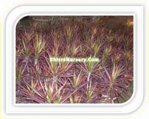 cordyline-australis-red-star