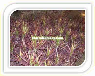 Cordyline Plants