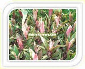 cordyline-fruticosa-prins