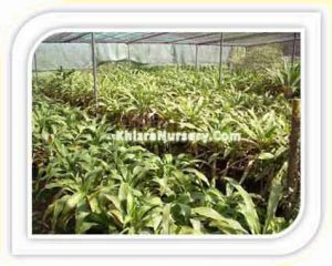dracena-fragrans-massangea