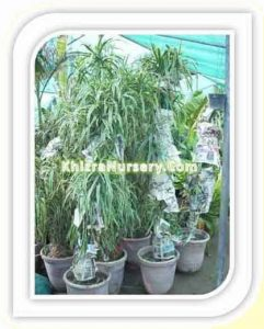 dracena-fragrans-white-stripe