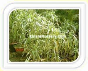 dracena-fragrans-yellow-stripe