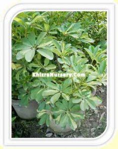 schefflera-arboricola-carolien
