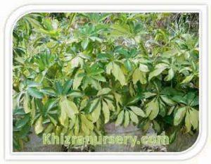 schefflera-arboricola-teinett