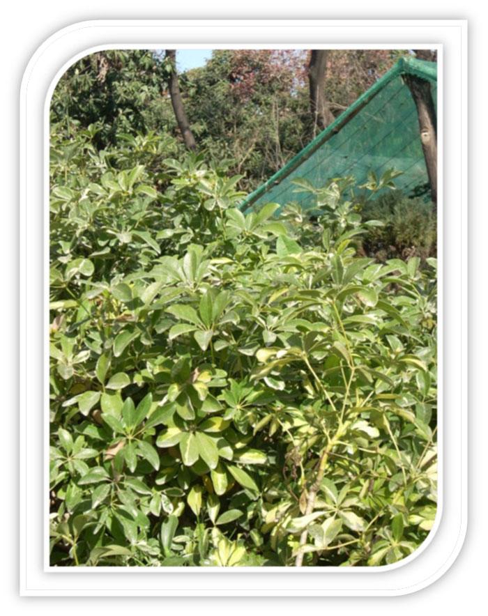 Schefflera Plants