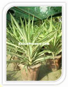 yucca-elephentipe-silverstar