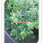 Carissa Grandiflora