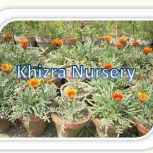Gazania Plants
