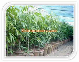 polyalthia-longifolia