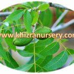 Pecan Nut  Nursery
