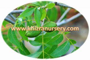 pecan-nut-nursery