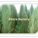 Cupressus sempervirens Tree Nursery