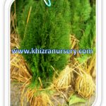 Thuja Occidentle Trees  Nursery
