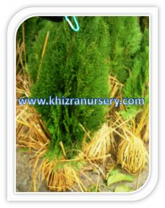 thuja-tree-seeds-trees-seedlings-suppliers-nursery