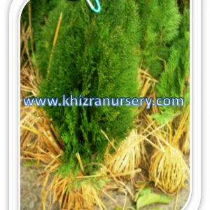 Thuja Occidentle