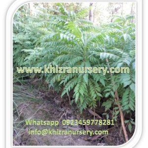 Azadirachta indica neem trees