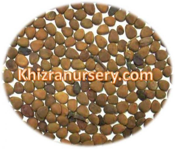Caesalpinia Pulcherrima Seeds