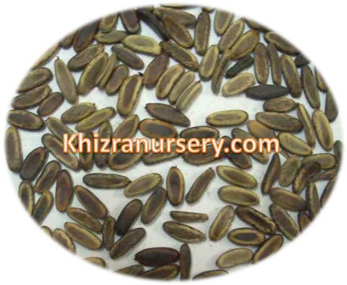 Delonix Regia Seeds