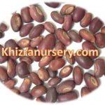 Erythrina suberosa Seeds