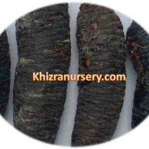 Picea smithiana Seeds