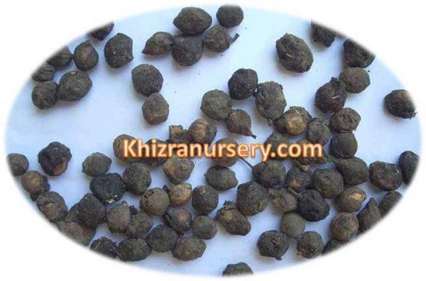 Putranjiva Roxburghii Seeds
