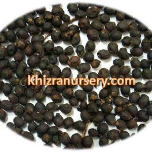 Roystonea Regia Seeds