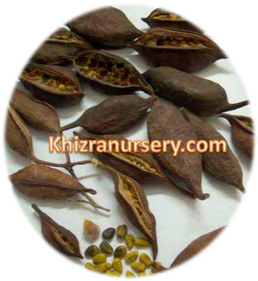 Sterculia lanceolata Seeds
