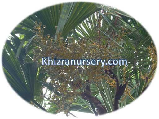 Trachycarpus Fortunei Seeds