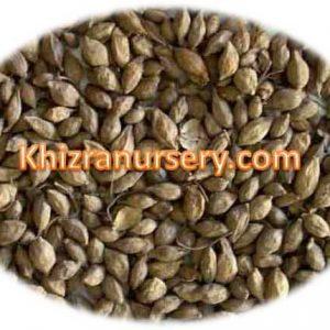 Terminalia Catappa Seeds