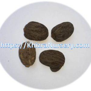 Bismarckia Nobilis Seeds